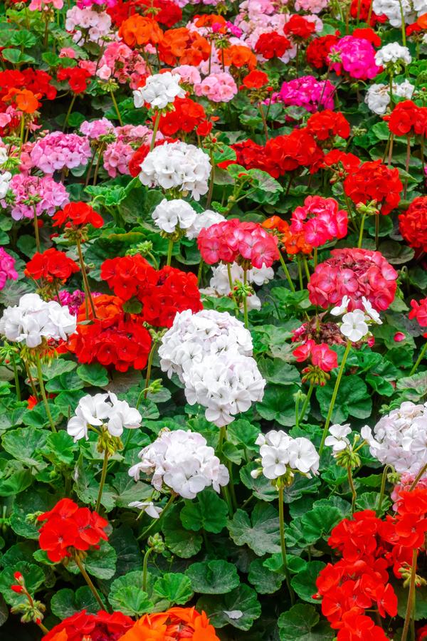 how to keep geraniums flowering