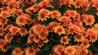 how to make mums bloom longer