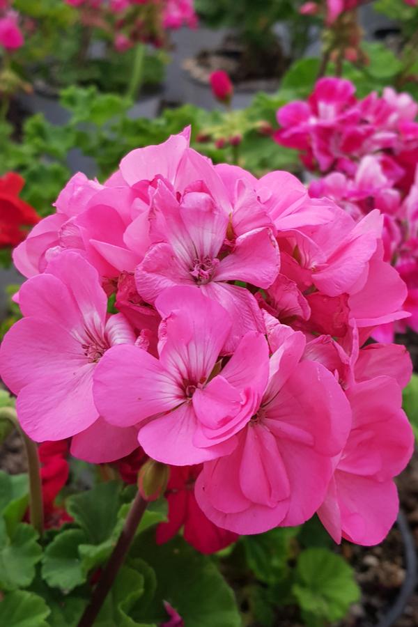 pink flowering annuals