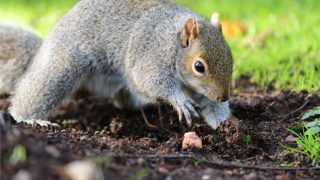 protect tulip bulbs from squirrels