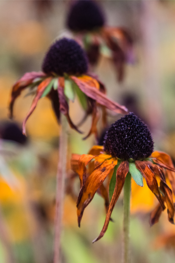 black eyed susan in the fall