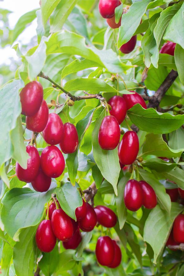 dogwood berries - how to plant dogwood trees