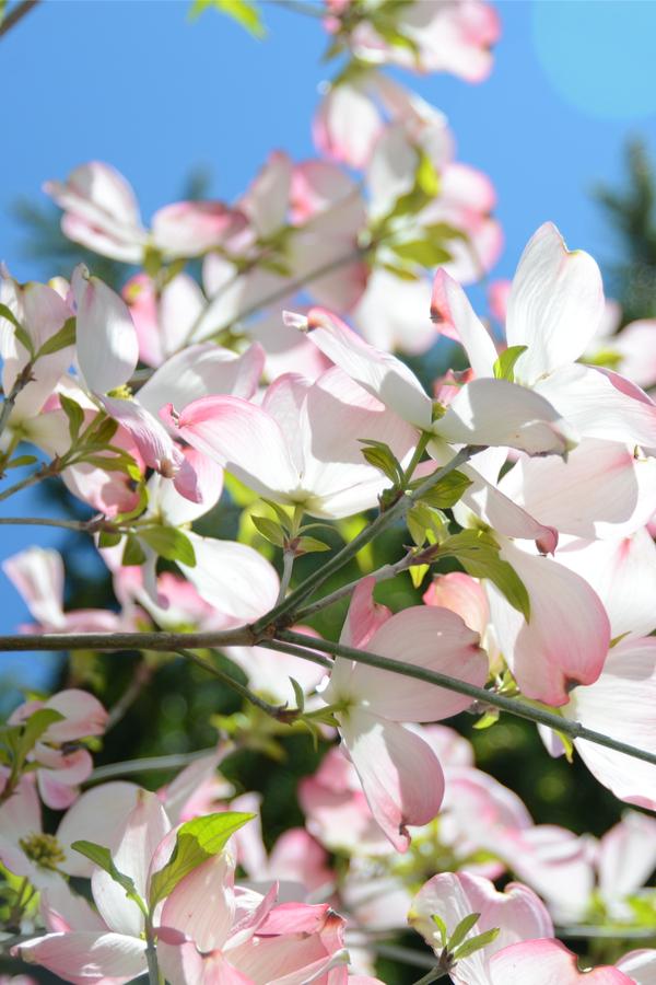 dogwoods flowering