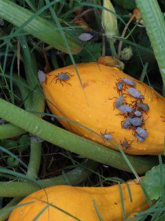eliminating squash bugs