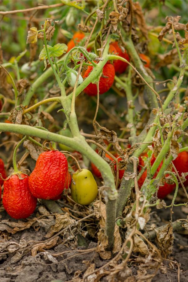 old tomato plants