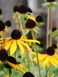 fall care for black eyed susan