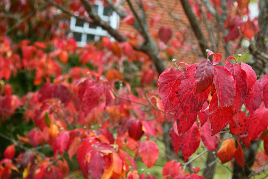 fall dogwood leaves - how to plant dogwood trees