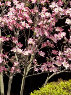 how to plant dogwoods