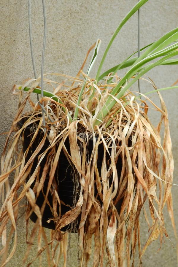 reuse hanging basket soilll