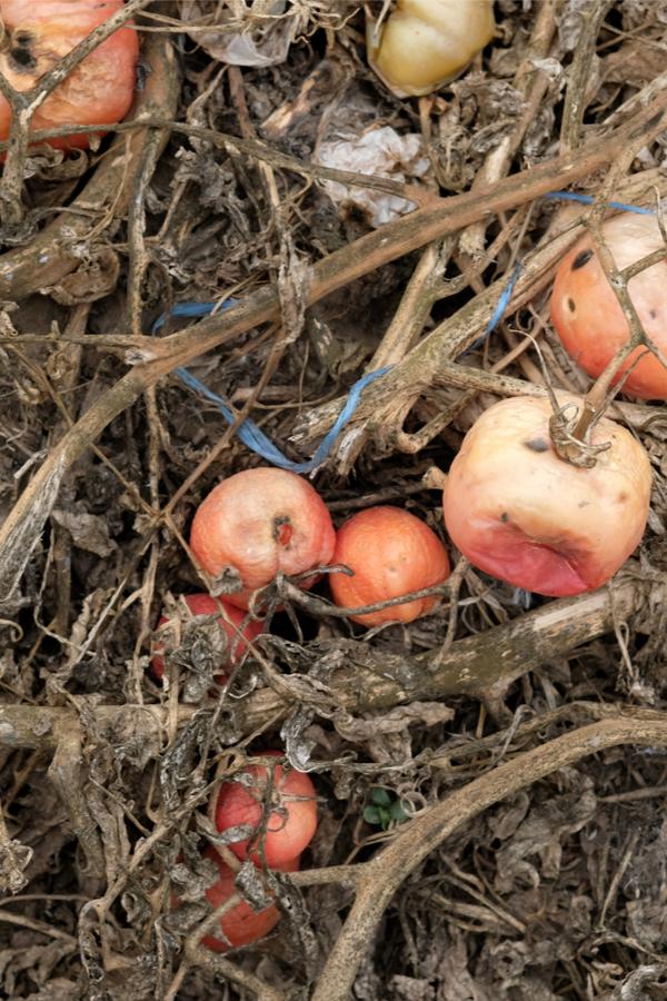rotton tomatoes