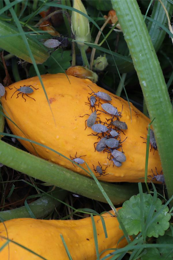 stopping squash bugs