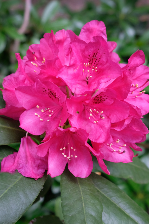 how to prepare rhododendrons for winter
