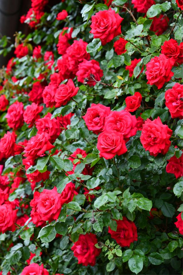 winter rose care