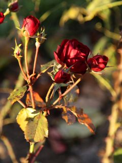 how to protect rose bushes